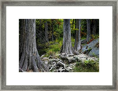Cypress Trees In A Row Framed Print by Mark Weaver
