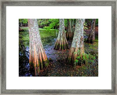 Cypress Waltz Framed Print by Karen Wiles