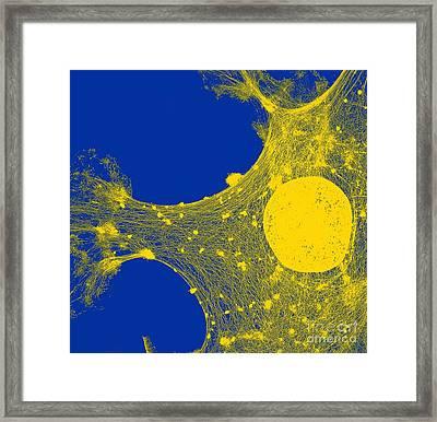 Cytoskeleton, Tem Framed Print by Spl