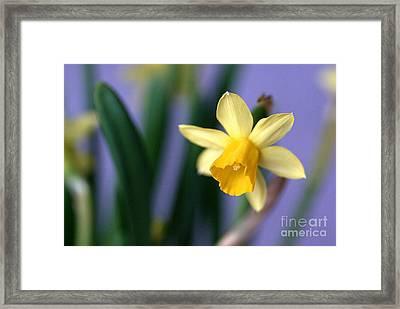 Daffodil Framed Print by AmaS Art