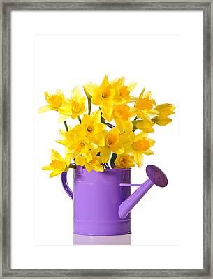 Daffodil Display Framed Print by Amanda Elwell