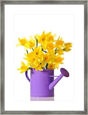 Daffodil Display Framed Print by Amanda And Christopher Elwell