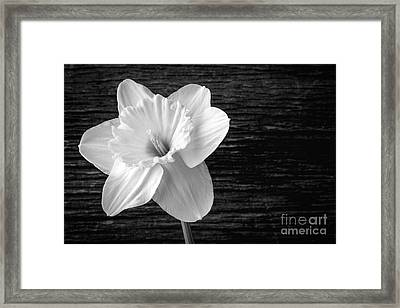 Daffodil Narcissus Flower Black And White Framed Print by Edward Fielding