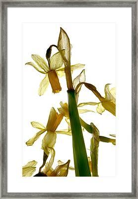 Daffodil Framed Print by Julia McLemore