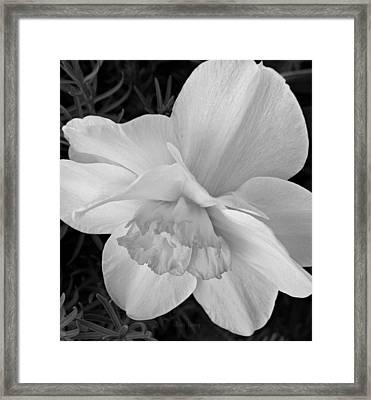 Daffodil Study Framed Print by Chris Berry