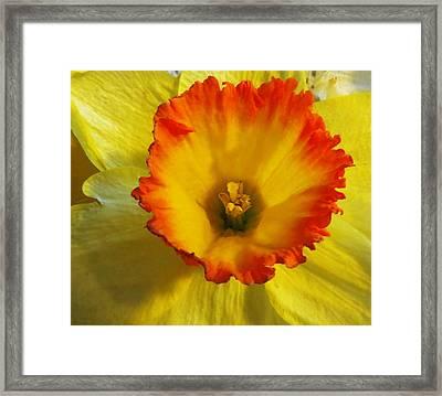 Daffodil Sunset Framed Print by Shawna Rowe