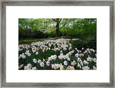 Daffodils Display. Keukenhof Botanical Garden. Netherlands Framed Print by Jenny Rainbow