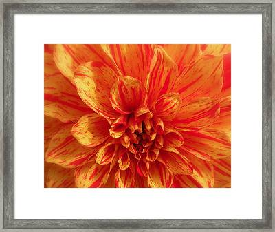 Dahlia  Framed Print by Brian Chase