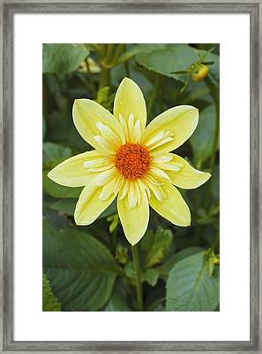 Dahlia 'claire De Lune' Framed Print by Science Photo Library