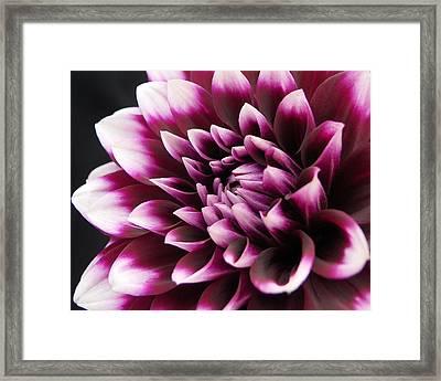 Dahlia Delightful Framed Print by Kathi Mirto