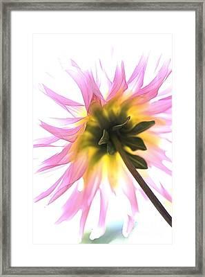Dahlia Flower Framed Print by Joy Watson