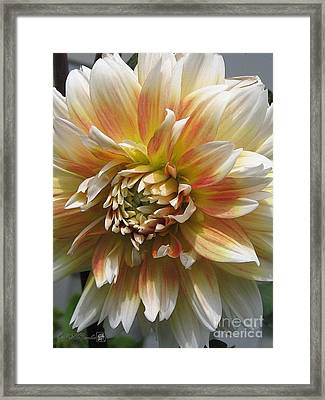 Dahlia Named Peaches-n-cream Framed Print by J McCombie