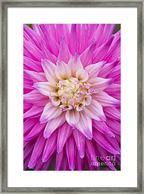Dahlia Ruskin Andrea Flower Framed Print by Tim Gainey