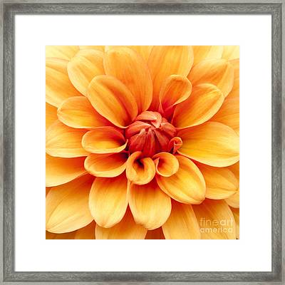 Dahlia Squared Framed Print by Anne Gilbert