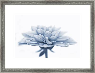 Dahlietta Amy Cyanotype Framed Print by John Edwards