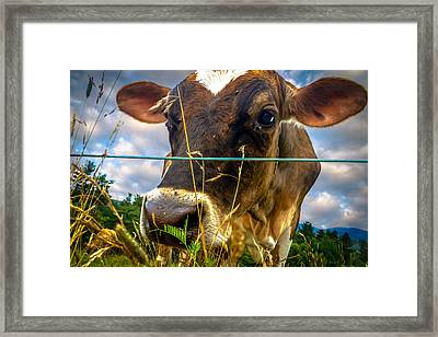 Dairy Cow Framed Print by Bob Orsillo