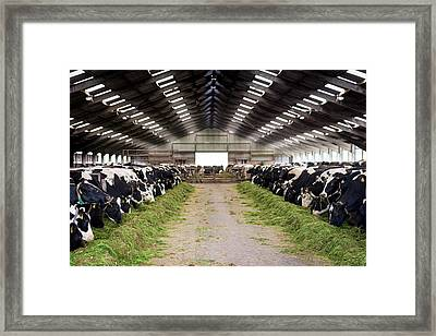 Dairy Cows Framed Print by Aberration Films Ltd