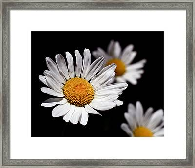 Daisies Framed Print by Rona Black