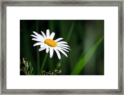 Daisy - Bellis Perennis Framed Print by Bob Orsillo