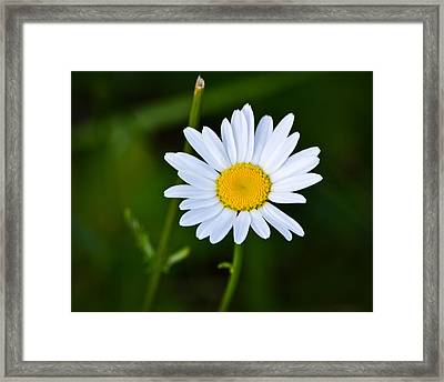 Daisy Daisy Framed Print by Mary Zeman