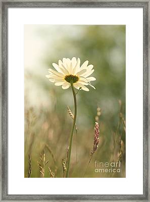 Daisy Dreams Framed Print by LHJB Photography