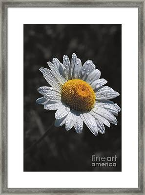 Daisy Morning Dew Framed Print by Henry Kowalski