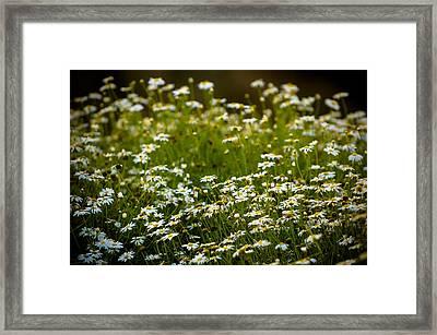 Daisy Sunrise Framed Print by Sebastian Musial