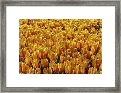 Dallas Blooms Framed Print by John Babis