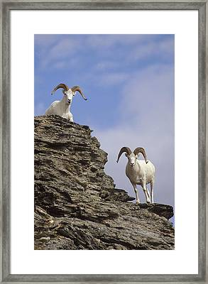 Dalls Sheep On Rock Outcrop North Framed Print by Michael Quinton