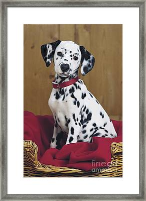 Dalmatian In Basket A108 Framed Print by Greg Cuddiford