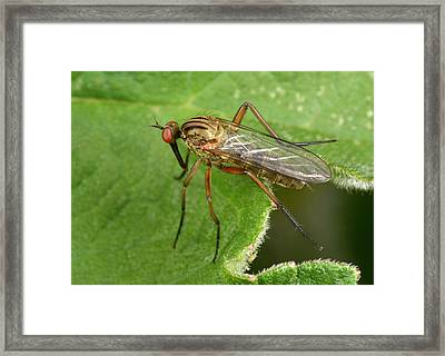 Dance Fly Framed Print by Nigel Downer
