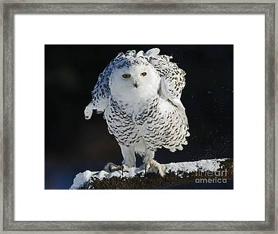 Dance Of Glory - Snowy Owl Framed Print by Inspired Nature Photography Fine Art Photography