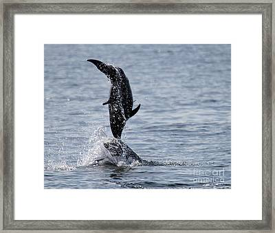 Dancing Dolphins Framed Print by Bob Hislop