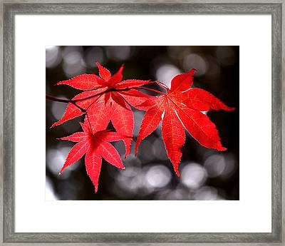 Dancing Japanese Maple Framed Print by Rona Black