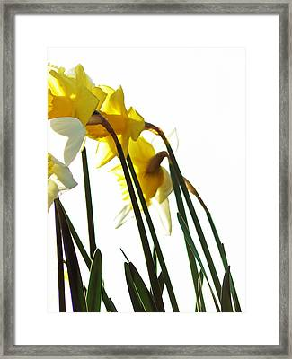 Dancing With The Daffodils Framed Print by Pamela Patch