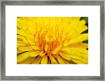 Dandelion Framed Print by Christina Rollo