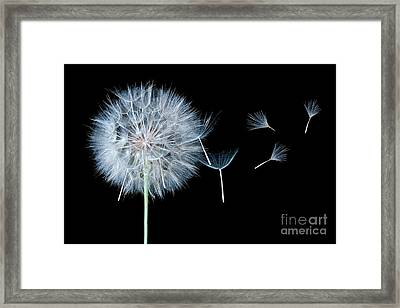 Dandelion Dreaming Framed Print by Cindy Singleton