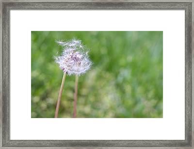 Dandelion Seed Ball Framed Print by James Drake