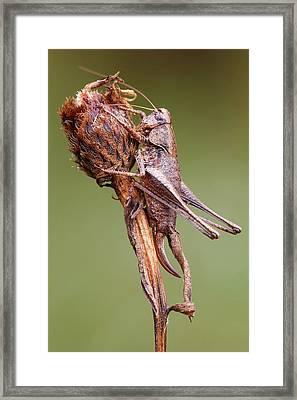 Dark Bush Cricket Framed Print by Heath Mcdonald