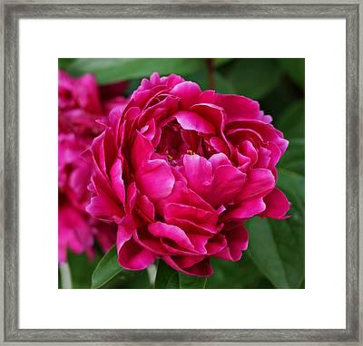Dark Pink Peony Framed Print by Sandy Keeton