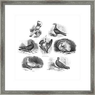 Darwin On Pigeon Evolution Framed Print by Natural History Museum, London