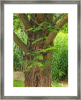 Dawn Redwood - Metasequoia Framed Print by Gill Billington