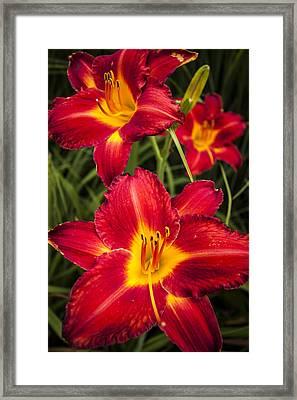 Day Lilies Framed Print by Adam Romanowicz