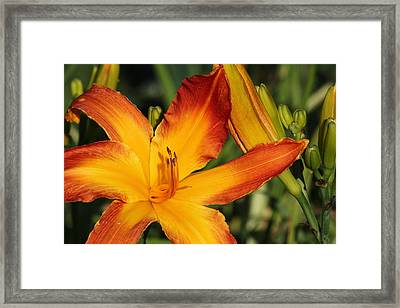 Day Lily Framed Print by James Hammen