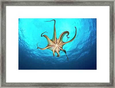 Day Octopus  Octopus Cyanea , View Framed Print by Dave Fleetham