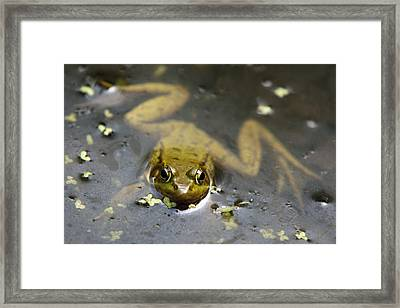 Daybreak Frog Framed Print by Christina Rollo
