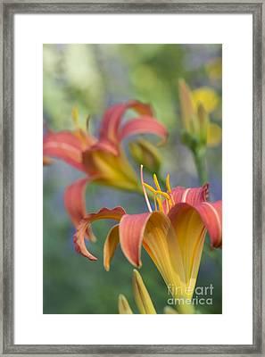 Daylily Hemerocallis Pink Prelude Framed Print by Tim Gainey
