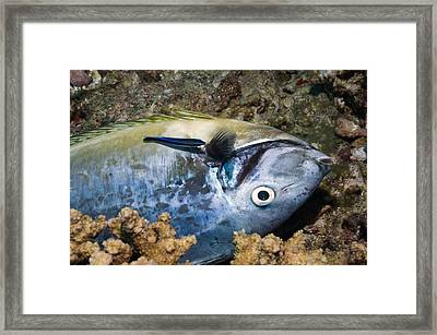 Dead Fish And Cleaner Wrasse Framed Print by Science Photo Library