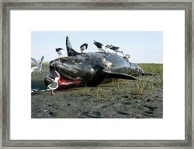 Dead Grey Whale Calf On Beach Framed Print by Christopher Swann