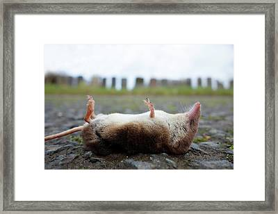 Dead Shrew Framed Print by Cordelia Molloy